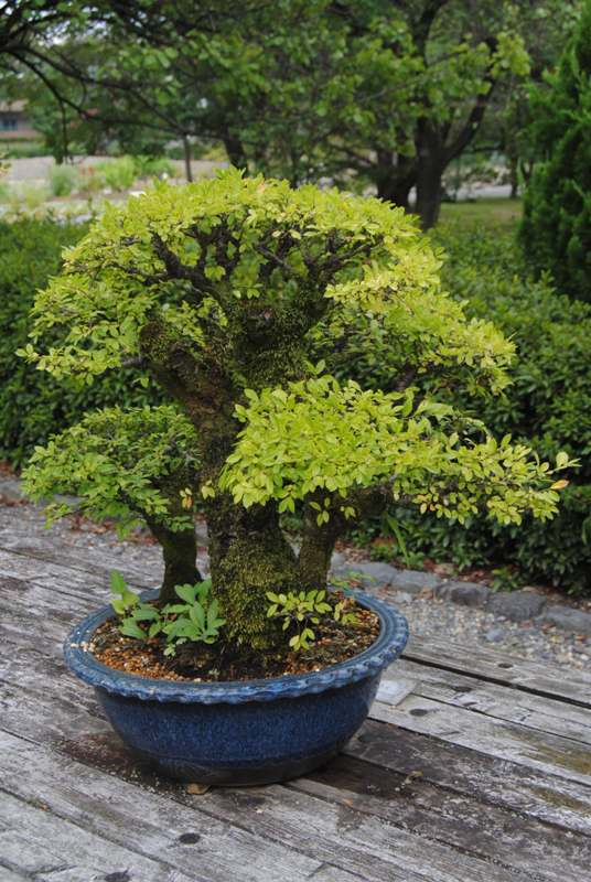 Kyoto botanical garden - bonsai 3